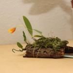 Bulbophilum-pardalatum-Rose-Marie-Marchand-orchidee60