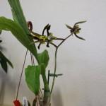 Catasetum-saccatum-Raoul-Cere-orchidee60