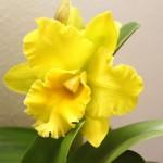 Cattleya-hybride-Annie-Gasser-orchidee60