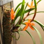 Cerataslylis-restiquama-Gerard-Leuk-orchidee60