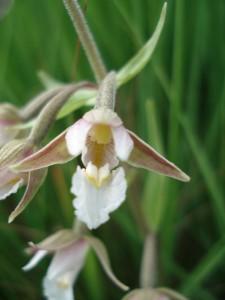 Epipactis-des-marais-orchidee60