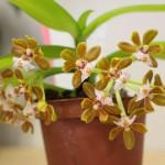 Gastrochilus-acutilolius-Raoul-Cere-orchidee60