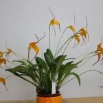 Masdevallia-1-Jean-Noel-Hubert-orchidee60