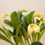 Masdevallia-2-Jean-Noel-Hubert-orchidee60
