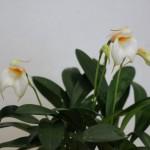 Masdevallia-3-Jean-Noel-Hubert-orchidee60