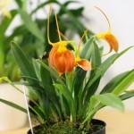 Masdevallia-marguerite-Raoul-Cere-orchidee60