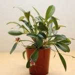 Masdevallia-nidifica-Jean-Noel-Hubert-orchidee60