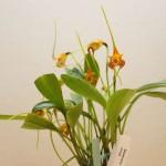 Masdevallia-norops-Jean-Noel-Hubert-orchidee60