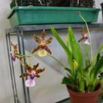Miltonia-clowesii-Annie-Gasser-orchidee60