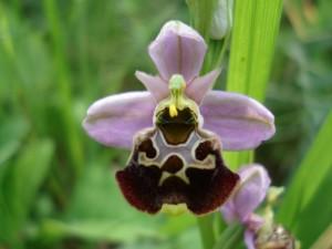 Ophrys-Frelon-orchidee60