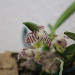 Trichoglottis-putida-Raoul-Cere-orchidee60
