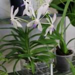 Vanda-Michel-Berny-orchidee60