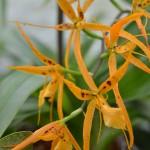 brassada-mivada-orchidee60