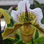 Paphiopedilum americain - orchidee 60