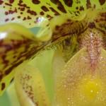 Paphiopedilum americain - orchidee 60 - macro