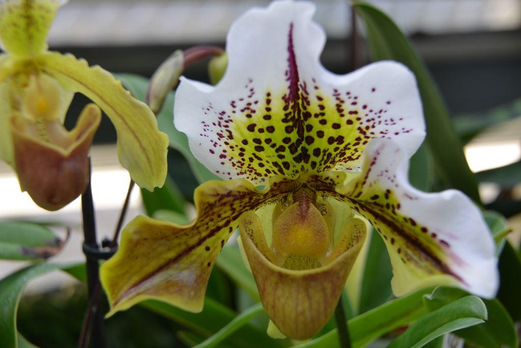 orchidee 60
