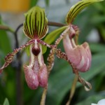 paphiopedilum-angel-victoria-regina-orchidee60
