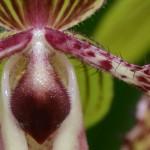 Paphiopedilum angel victoria regina - orchidee 60 - macro