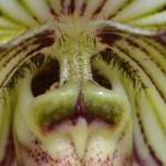 paphiopedilum-fairrieanum-orchidee60-macro