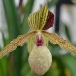 paphiopedilum-harold-koopowitz-orchidee60
