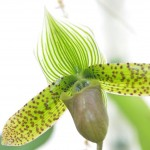 paphiopedilum-maudiae-sukhakulli-orchidee60