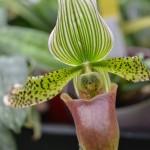 Paphiopedilum wardii - orchidee 60