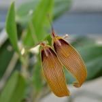 restrepia-antennifera-orchidee60