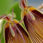 restrepia-antennifera-orchidee60-macro