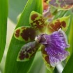zygopetalum-orchidee60