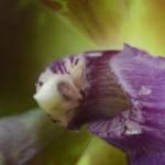 Zygopetalum - orchidee60 - macro