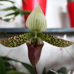 Paphiopetalum - orchidée 60
