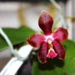 Phalaenopsis - orchidée 60