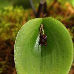 Pleurothallis prolifera - orchidée 60