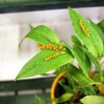 Pleurothallis truncata Equador - orchidée 60