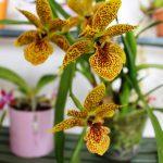 Propetalum - orchidée 60