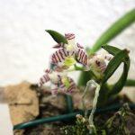 Tricoglottis pudita - orchidée 60